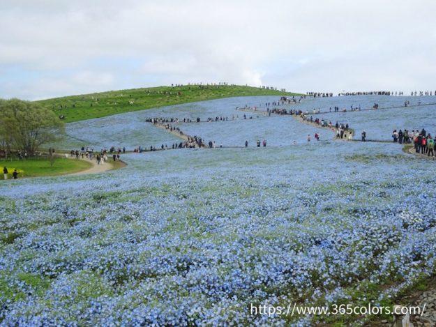 茨城県ひたちなか海浜公園、ネモフィラの丘